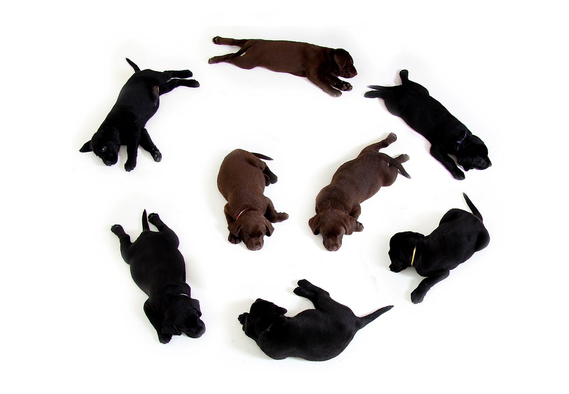 puppies-black-brown-labrador-160829.jpeg