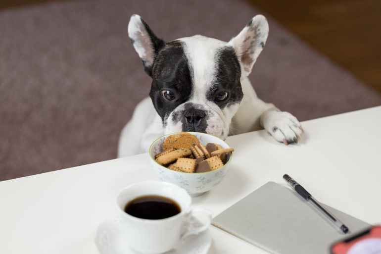 white and black english bulldog stands in front of crackers on bowl at daytime