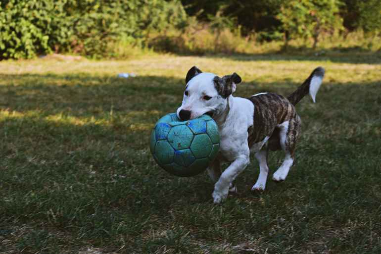 brindle and white american pit bull terrier puppy walking outdoor holding green ball