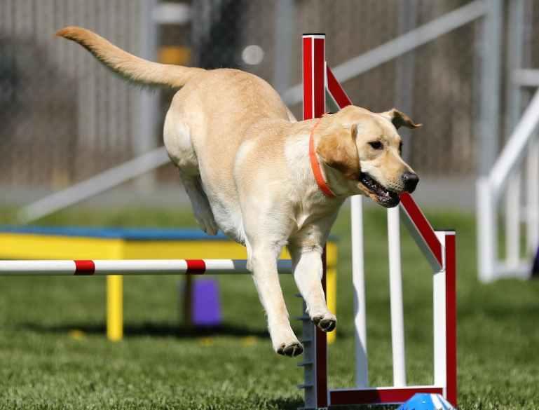adorable agility animal breed